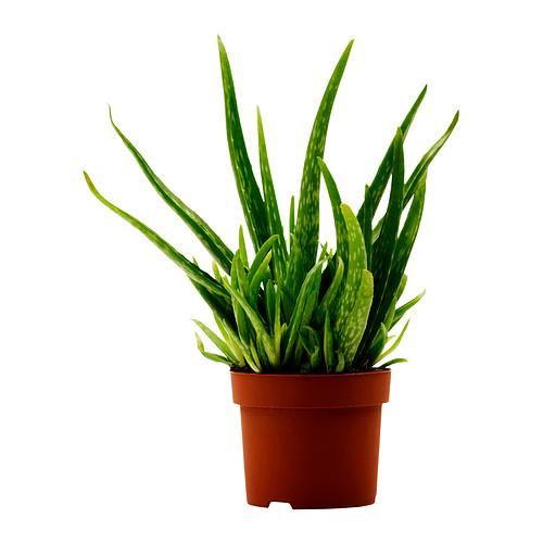 Sorcerers plant blue flame magick - Aloe vera plante utilisation ...